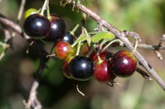Beeren im Bäckergarten